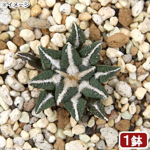 (観葉植物)アリオカルプス 黒牡丹 2.5号(1鉢)
