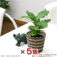 コーヒーの木 3号(5ポット) 北海道冬季発送不可