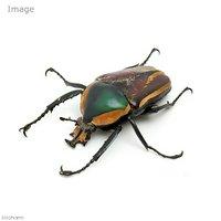 シロヘリオオツノカナブン カメルーン産 幼虫(初~2令)(1匹)