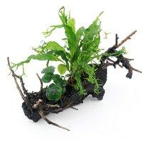 自在流木 おまかせアヌビアス&ミクロソリウム付 Mサイズ(1本)(約20cm)