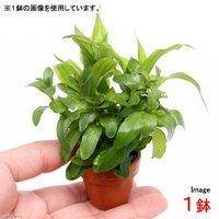 プチ素焼き鉢 おまかせ寄せ植えミックス ~新緑~(水上葉)(無農薬)(1鉢)