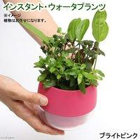 インスタントウォータプランツ(寄せ植え)(ブライトピンク)(1鉢)