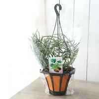 リプサリス ピロカルパ 吊り鉢タイプ 5号(1鉢)