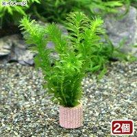 メダカ金魚藻 国産 ライフマルチ(茶) 無農薬アナカリス(2個)