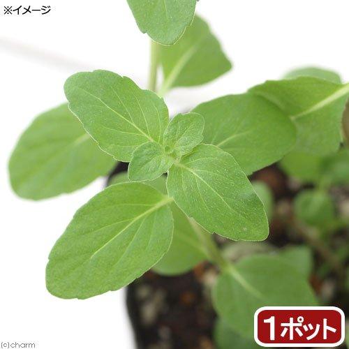(観葉植物)ハーブ苗 ミント ニホンハッカ あかまる 3号(1ポット) 家庭菜園