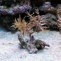 海藻 ホンダワラ 種類おまかせ 岩付き Sサイズ(1個)
