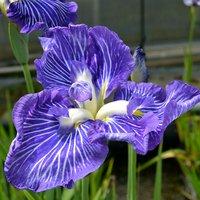 水辺植物 花菖蒲 潮流(チョウリュウ)江戸系コバルトブルーに白筋入三英大輪花(1ポット)