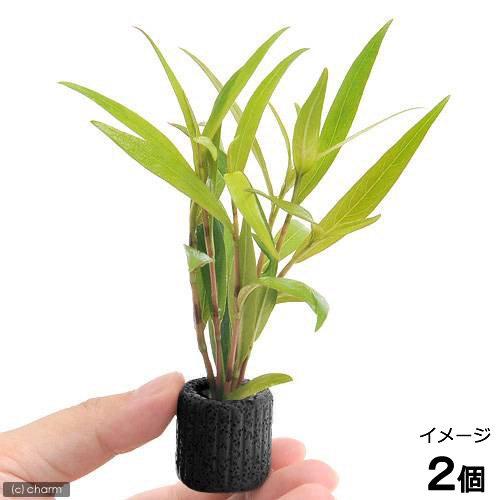 (水草)マルチリングブラック(黒) ポリゴナムsp.レッド(水上葉)(無農薬)(2個) 北海道航空便要保温