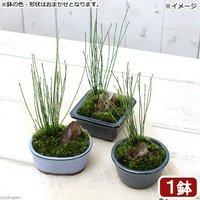 盆栽 和盆栽 ヒメトクサ 鉢おまかせ(1鉢)