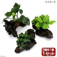 アヌビアス ナナ 3種 流木セット SSサイズ(約10cm)