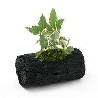 苔盆栽 炭鉢植え 斑入りヤブコウジ Lサイズ(1鉢)