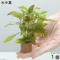 ライフマルチ(茶) ハイグロフィラ ポリスペルマ(無農薬)(1個)