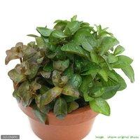 素焼き鉢 寄せ植えミックス(水上葉)(無農薬)(3鉢)