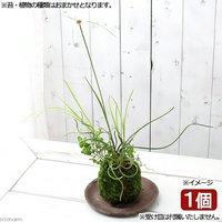 苔玉 水辺植物3種寄せ植え(品種おまかせ)(1個) 観葉植物 コケ玉