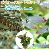 (水草)ビギナースタートセット ラミーノーズテトラ(ブリード)(6匹) +クーリーローチ(3匹)