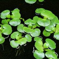 ミニホテイ草 子株(無農薬)(3株) 金魚 メダカ