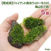 育成済 ジャイアント南米ウィローモス 風山石小粒(無農薬)(5粒)