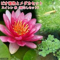 (めだか)ビオ植物とメダカセット 睡蓮(スイレン) 赤 鉢なしセット