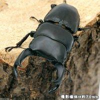 国産オオクワガタ 滋賀県愛知川産 幼虫(初~2令)(3匹)