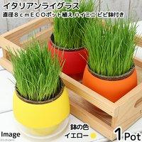 イタリアンライグラス 猫草 直径8cmECOポット植え(無農薬)(ハイミニ ビビ鉢付きイエロー)