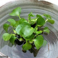 水辺植物 ホテイ草 国産(ホテイアオイ)(5株) 金魚 メダカ