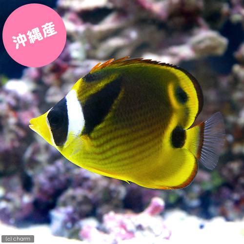 (海水魚)沖縄産 チョウハン(1匹) チョウチョウウオ 北海道・九州・沖縄航空便要保温