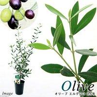 果樹苗 オリーブの木 エルグレコ 3.5号(1鉢) 家庭菜園