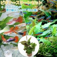 (水草)ビギナースタートセット カージナルテトラ(10匹)+外国産ミックスグッピー(3ペア)