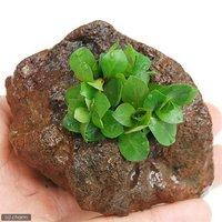 レッドルドウィジア(水上葉) 穴あき溶岩石付(無農薬)(1個)