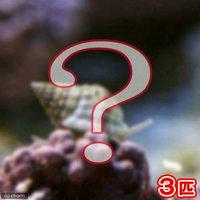 貝 おまかせムシロガイ(3匹)
