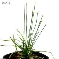 水辺植物 ヤシュウイヌノヒゲ 3号(1ポット) 湿性植物 (休眠株)