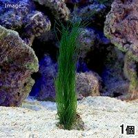 海藻 エナガジュズモ 岩付き プチ(1個)