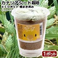 種まき済み カナリーシード栽培 ECOポット(1ポット)
