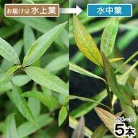 ハイグロフィラsp.パクセー ラオス産(水上葉)(無農薬)(5本)