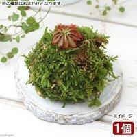ミニ苔玉 コモウセンゴケ(1個) 観葉植物 コケ玉