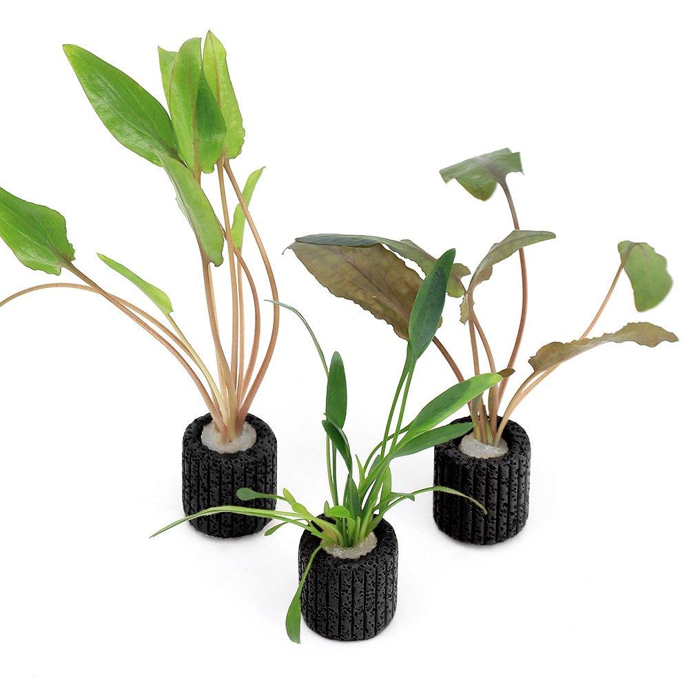 (水草)マルチリングブラック(黒) おまかせクリプトコリネ(3個) 北海道航空便要保温
