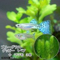 (水草)ブルーグラスグッピー(国産グッピー)(1ペア)+マツモ(3本)