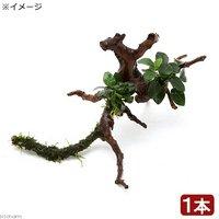 枝状流木 Sサイズ アヌビアスナナ プチ&おまかせモス付(1本)(約10cm~)