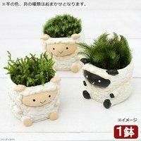 苔盆栽 リトルアニマル ヒツジ 色おまかせ(1鉢)