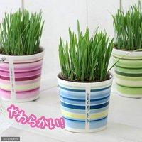 ペットグラス 燕麦 うさぎの草 直径8cmECOポット植え(無農薬)(鉢カバー付きブルー)(1セット) おやつ