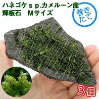 巻きたて ハネゴケsp.カメルーン産 輝板石 Mサイズ(約14cm)(無農薬)(3個)