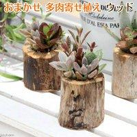 私のオアシス 多肉寄せ植え 流木ポット mini(1個) 北海道冬季発送不可
