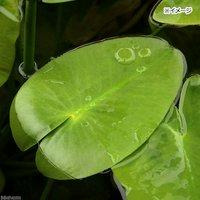 水辺植物 河骨 ホッカイコウホネ(北海河骨)(1ポット)浮葉植物