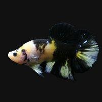 鯉ベタハーフムーンプラカット コイカラー オス(黄色系)(1匹)