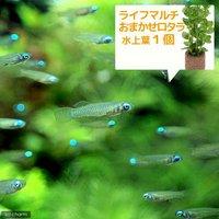 (水草)アフリカンランプアイ Sサイズ(20匹) + ライフマルチ(茶) おまかせロタラ(1個)