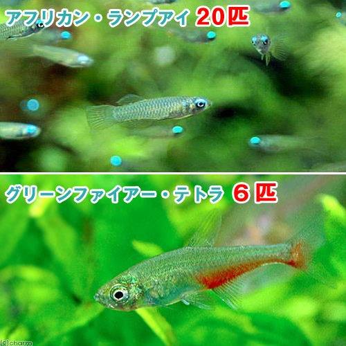 (熱帯魚)アフリカン・ランプアイ Sサイズ(20匹) + グリーンファイアー・テトラ(6匹) 北海道・九州航空便要保温