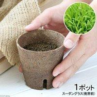 長さで選べる スーダングラス 直径8cmECOポット植え(発芽前)(無農薬)(1ポット)