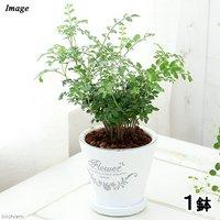 シマトネリコ 陶器鉢植え フレグランドラウンドポットXS(1鉢) 受け皿付き 北海道冬季発送不可