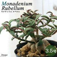 モナデニウム モンタナム var. ルベルム 3.5~4号(1鉢) コーデックス