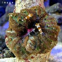 イソギンチャクモエビ(2匹)+グビジンイソギンチャク(1匹)セット 無脊椎動物